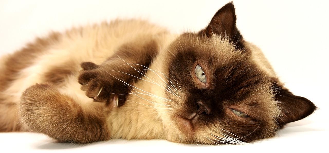 猫の種類一覧