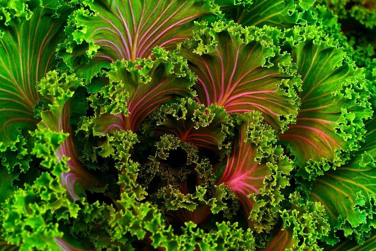 ケール(野菜)