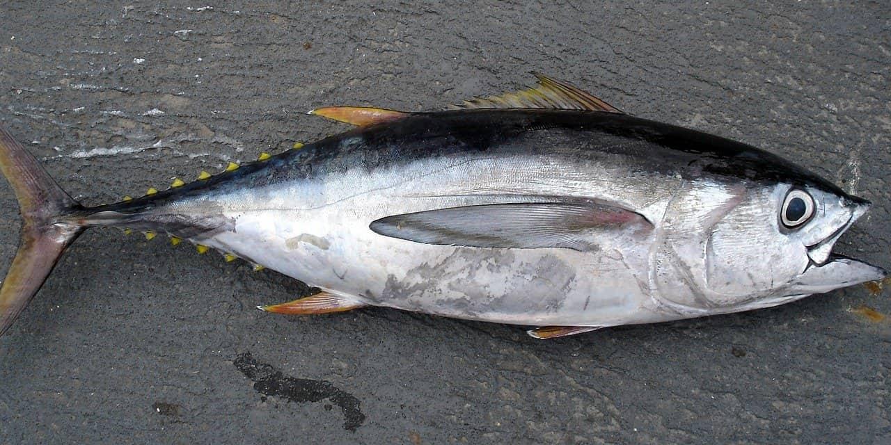 マグロ(魚)